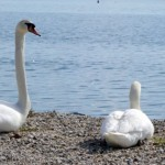 Ptujsko jezero, raj za ptice
