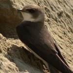 LiveDrava: Urejanje gnezdišč breguljke (video)