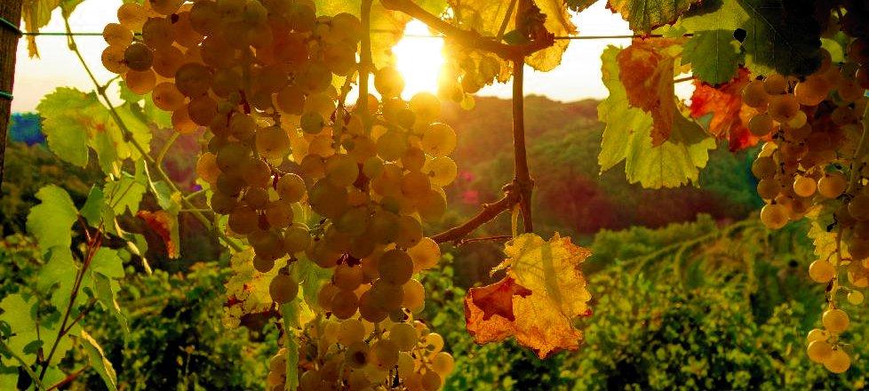 Vino in vinska tradicija na Ptujskem