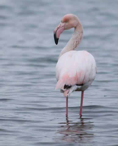 veliki flamingo